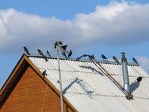 Dohlen auf Dach Stockfoto