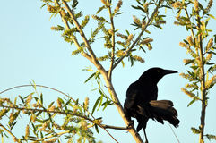 Dohlengrackel im Baum Lizenzfreie Stockfotografie
