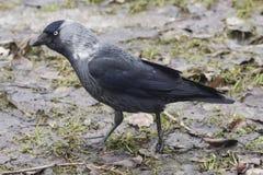 Dohlenvogel, Corvus monedula, auf Boden Nahaufnahmeporträt, selektiver Fokus stockfotografie