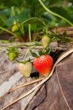 doi angkhang山的, chiangmai草莓庭院:泰国 免版税库存图片