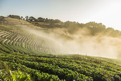 Doi Angkhang strawberry field Royalty Free Stock Photo