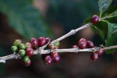 Doi Chang Coffee Fotografía de archivo