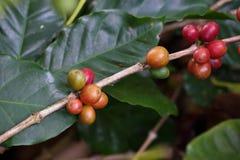 Doi Chang Coffee Stockbilder