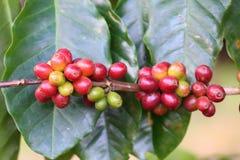 Doi Chang Coffee Lizenzfreie Stockfotos