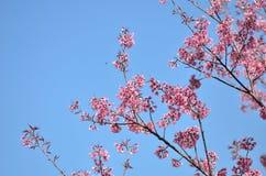 Doi Partung sakura blommar chiangmaien Thailand Arkivfoton