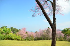 Doi Partung sakura blommar chiangmaien Thailand Arkivbild