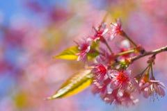 Doi Phu Kha Wild Himalayan Cherry. Doi Phu Kha Stock Image