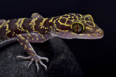 Doi Suthep Bent-toed gecko, Cyrtodactylus doisuthep. The Doi Suthep Bent-toed gecko, Cyrtodactylus doisuthep, is a recently 2016 discovered gecko species endemic Stock Images