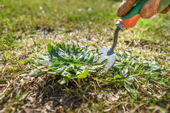 Doing Garden maintenance, weeding the lawn Royalty Free Stock Photography