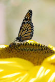 Doing Lunch. Monarch butterfly and yellow jacket on sunflower Royalty Free Stock Image