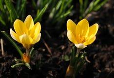 Dois açafrões amarelos Imagem de Stock