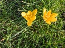 Dois açafrões que olham para fora da grama Imagens de Stock