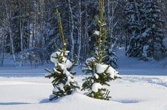 Dois abeto pequenos em um taiga em Sibire no inverno Imagens de Stock Royalty Free