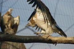 Dois abutres. Fotografia de Stock Royalty Free