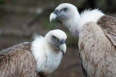 Dois abutres de Griffon Imagens de Stock