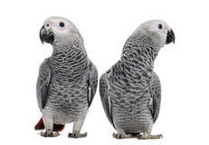 Dois africano Grey Parrot (3 meses velho) Imagem de Stock Royalty Free