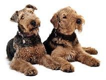 Dois Airdale Terrier estão olhando no mesmo sentido Fotos de Stock Royalty Free