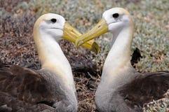 Dois albatrosses põr suas cabeças em um formulário do coração Imagens de Stock Royalty Free