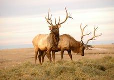 Dois alces com Antlers maduros Fotografia de Stock