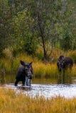 Dois alces que alimentam na lagoa no parque nacional grande de Teton fotografia de stock