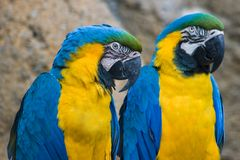 Dois amarelos e papagaios azuis Foto de Stock Royalty Free