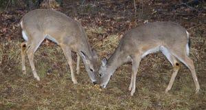 Dois animais com um ano de idade Imagem de Stock