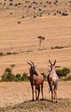 Dois antílopes do Topi no dever Foto de Stock Royalty Free