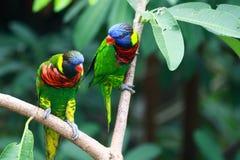 Dois arco-íris Lorikeets Fotografia de Stock