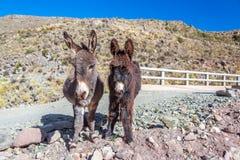 Dois asnos Fotografia de Stock Royalty Free