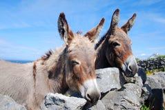 Dois asnos irlandeses que olham sobre uma parede Foto de Stock