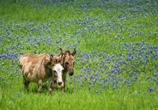 Dois asnos que pastam no pasto do bluebonnet de Texas Imagens de Stock
