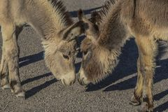 Dois asnos selvagens olham cara a cara Foto de Stock Royalty Free