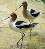 Dois Avocets americanos Fotos de Stock Royalty Free