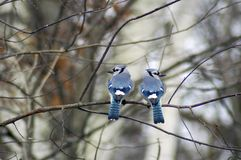 Dois azul Jays Fotos de Stock