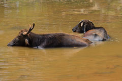 Dois búfalos asiáticos selvagens descansam na lagoa em um meio-dia quente Parque de Yala, Sri Lanka Imagem de Stock Royalty Free