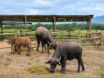 Dois búfalos pretos e vitelas imagem de stock