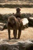 Dois babuínos Foto de Stock Royalty Free