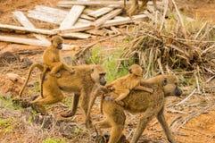 Dois babuínos com seus filhotes em suas partes traseiras fotografia de stock