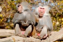 Dois babuínos de Hamadryas Imagens de Stock Royalty Free