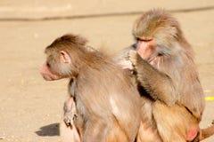 Dois babuínos de Hamadryas Fotos de Stock Royalty Free