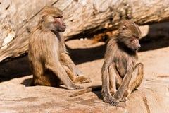 Dois babuínos masculinos em um JARDIM ZOOLÓGICO Foto de Stock