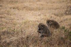 Dois babuínos que comem, parque nacional de Ngorongoro (Tanzânia) Imagens de Stock Royalty Free