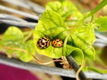Dois besouros de joaninha amarelos Imagem de Stock