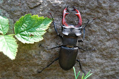 Dois besouros de veado Imagens de Stock