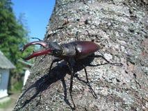 Dois besouros de veado Imagens de Stock Royalty Free