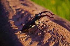Dois besouros de veado fotos de stock