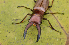 Dois besouros de veado Foto de Stock Royalty Free