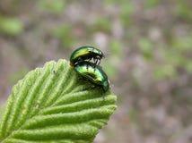 Dois besouros verdes Imagens de Stock