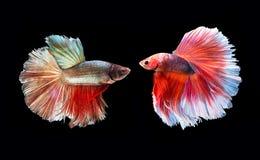Dois beta peixes de combate, peixes de combate Siamese Fotografia de Stock