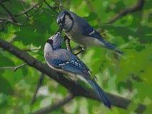 Dois BlueJays que beijam em uma árvore fotografia de stock royalty free